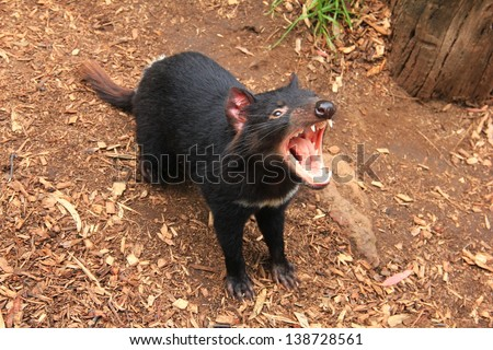 Tasmanian Devil (Sarcophilus harrisii) - snarling - stock photo