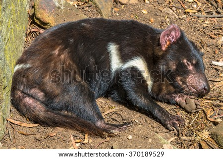 Tasmanian devil sleeping in Tasmanian Devil Unzoo, Taranna, Tasmania Peninsula in Australia. - stock photo