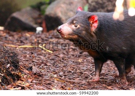 Tasmanian Devil smelling for scents - Sarcophilus harrisii - stock photo