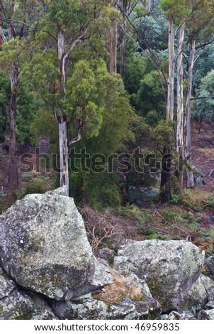 Tasmanian eucalyptus forest with boulders - stock photo