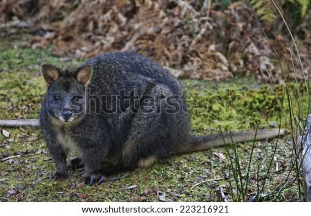 Tasmanian Pademelon, Thylogale billardierii which are abundant in Tasmania - stock photo