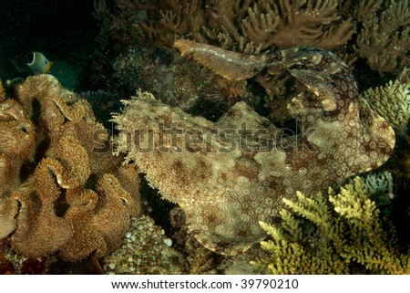 Tasseled Wobbegong Shark, Euchrossorhinus dasypogon, carpet shark - stock photo