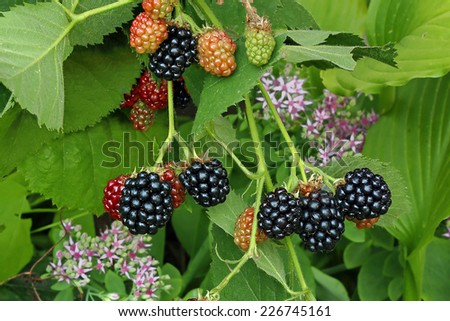 Tasty ripe blackberries in the forest - stock photo