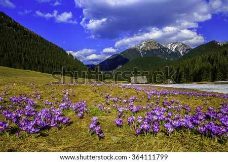Tatra Mountains, crocuses in the Chocholowska Valley