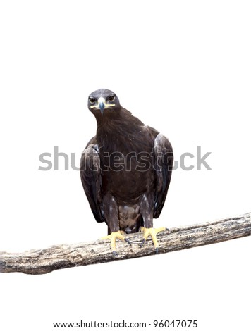 Tawny Eagle and tree branch isolated on white background - stock photo