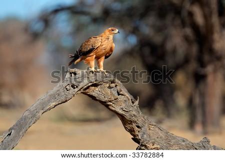 Tawny eagle (Aquila rapax) perched on a branch, Kalahari, South Africa - stock photo