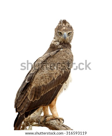 Tawny eagle (Aquila rapax) sitting on a branch tree, Africa, Kenya - stock photo