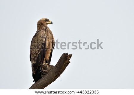 Tawny eagle (Aquila rapax) sitting on a branch tree in african natural park - stock photo