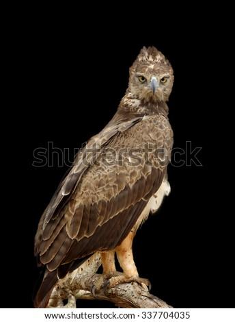 Tawny eagle (Aquila rapax) sitting on a branch tree on dark background, Africa, Kenya - stock photo