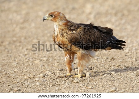 Tawny eagle (Aquila rapax) sitting on the ground, Kalahari desert, South Africa - stock photo