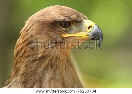 Tawny Eagle at the World Bird Sanctuary in Missouri where they treat injured birds. - stock photo