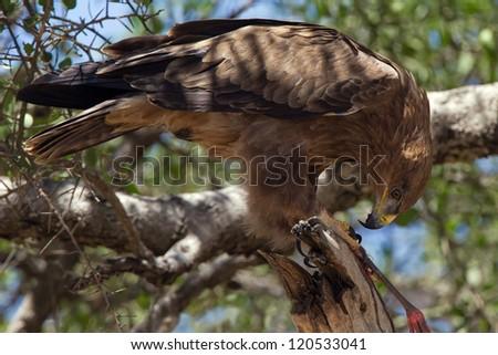 Tawny Eagle feeding at a tree (Aquila rapax) - stock photo