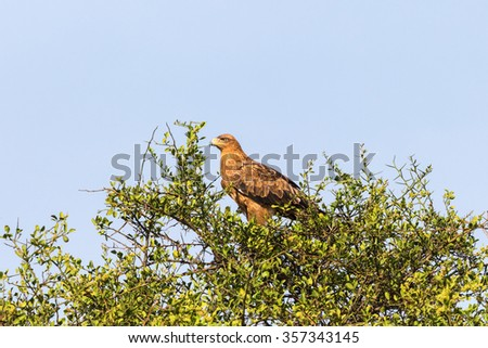 Tawny eagle in a treetop - stock photo