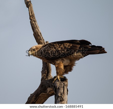 Tawny eagle in Tree ready for take off