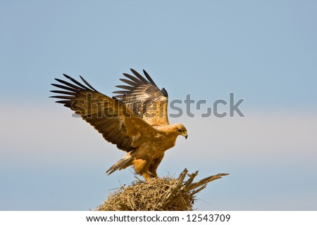 Tawny eagle landing on top of a sociable weavers nest ; Aquila rapax; South Africa