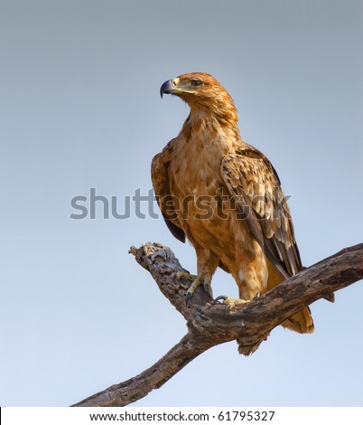 Tawny Eagle perched on a tree branch -  Aquila Rapax - stock photo