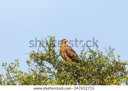 Tawny eagle sitting in a tree - stock photo