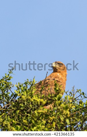Tawny eagle sitting in a tree top and scouts - stock photo