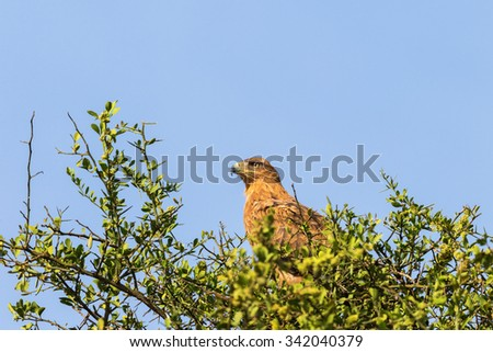 Tawny eagle sitting into a tree - stock photo