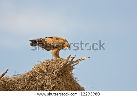 Tawny eagle sitting on top of a sociable weavers nest ; Aquila rapax; South Africa