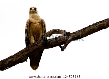 Tawny Eagle - What you looking at? - stock photo