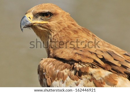 Tawny Eagle - Wild Bird Background from Africa - Golden Stare - stock photo