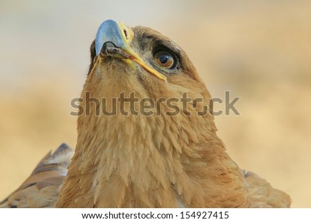 Tawny Eagle - Wild Bird Background from Africa - Golden stare of the powerful and proud - stock photo