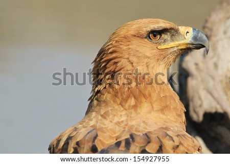 Tawny Eagle - Wild Bird Background from Africa - Sun stare of piercing yellow and gold - stock photo
