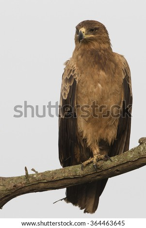 Tawny Eagle with cloudy sky background perched on tree in Serengeti National Park - stock photo