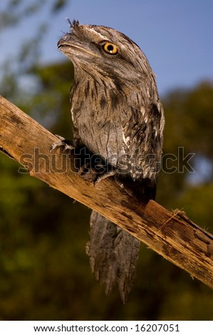 Tawny frogmouth sitting on log