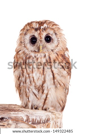 Tawny or Brown Owl (Strix aluco) isolated on the white background - stock photo