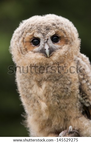 Tawny Owl Chick - stock photo