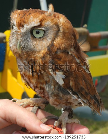 Tawny Owl Chick. The Tawny Owl or Brown Owl  is a stocky, medium-sized owl commonly found in woodlands across much of Eurasia - stock photo