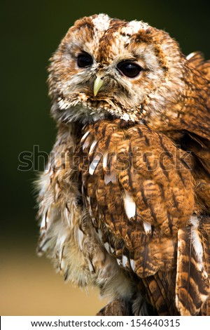 Tawny owl close up portrait with feathers fluffed up/Tawny Owl/Tawny Owl - stock photo
