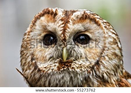 tawny Owl detail - stock photo