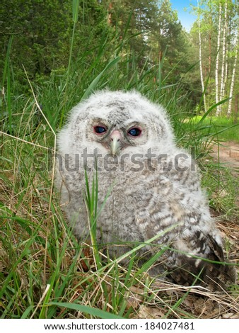 Tawny Owl fledgling (Strix aluco) sitting on a ground, Belarus - stock photo