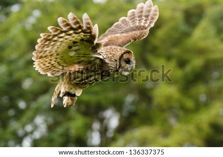 Tawny Owl flying / Tawny or Brown Owl captured in flight - stock photo