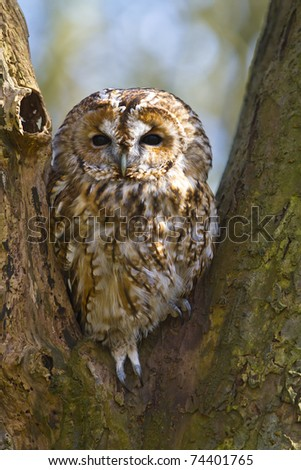 Tawny owl in a tree - stock photo