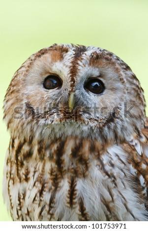 Tawny Owl in detail - stock photo