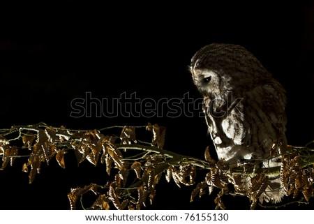 Tawny Owl in the night - stock photo