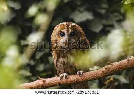 tawny owl look of tree - stock photo