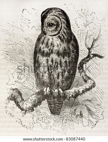 Tawny Owl old illustration (Strix aluco). Created by Kretschmer and Wendt, published on Merveilles de la Nature, Bailliere et fils, Paris, 1878 - stock photo