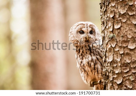 Tawny Owl or Strix aluco on the tree - stock photo