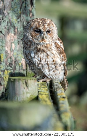 Tawny Owl perched in forest/Tawny Owl/Tawny Owl (strix aluco)  - stock photo