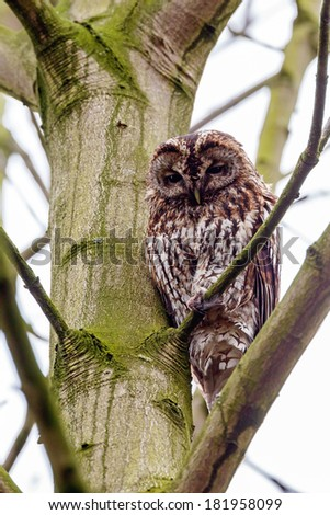 Tawny owl perched on a twig  - stock photo