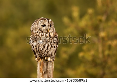 stock-photo-tawny-owl-portrait-close-up-