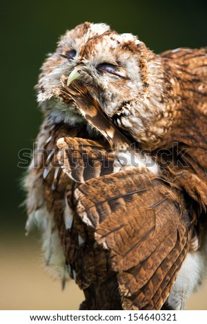 Tawny owl preening feathers close up/Tawny Owl/Tawny Owl - stock photo