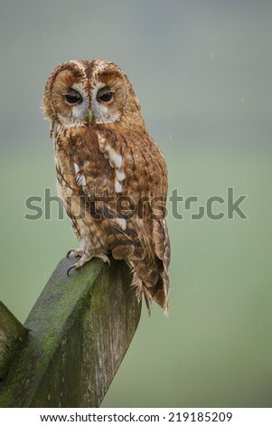 Tawny owl sitting on a n old gate post in the English countryside