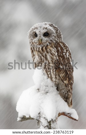 Tawny Owl snow covered in snowfall during winter - stock photo