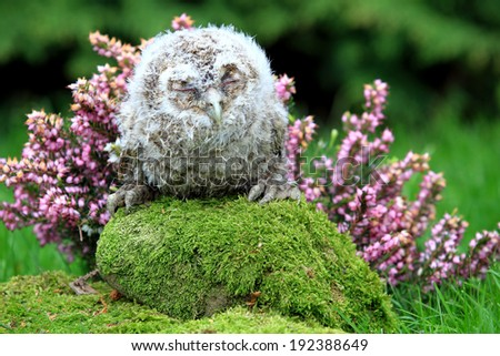 Tawny Owl (Strix aluco) Chick or Owlet asleep on a mossy rock with heather background. Taken in Scotland, UK. - stock photo